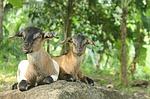 goats_thumb
